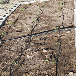 Drip line for the peppers May 31, 2014