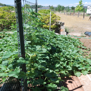 Overall of Aremnian Cucumbers July 30, 2014