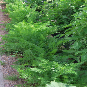 Overall carrots July 15, 2015