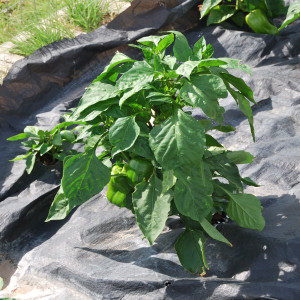 Overall Peppers July 15, 2014