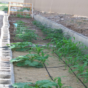 Older Corn and Beans July 15, 2014