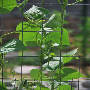 Close up Green Beans July 15, 2014