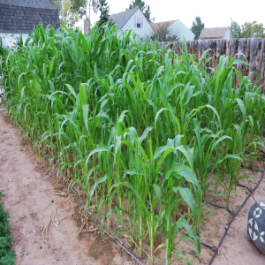 Overall of field corn.