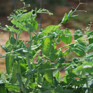Close up of Peas July 15, 2014