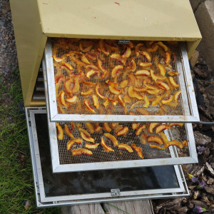 Dehydrator with Two Trays of Peaches Drying
