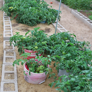 Overall of Tomatoes July 31, 2014