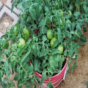 Closer view of tomatoes July 31, 2014