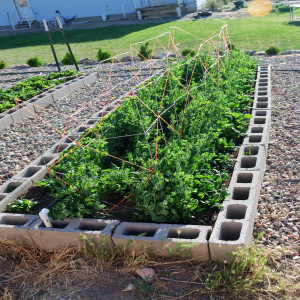 Spinach Peas and Lettuce May 31, 2014