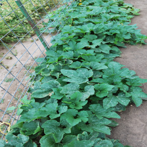 Overall of pumpkin plants