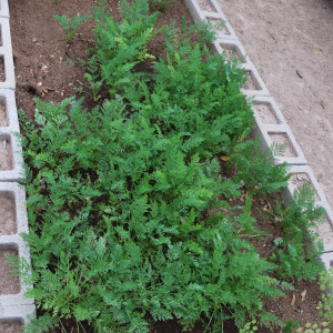 Overall Carrots July 31, 2014