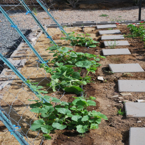Overall of cucumber plants with fence