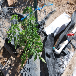 Early Girl Tomatoes May 31, 2014