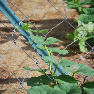 Cucumber Plant growing