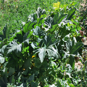 Overall of Crookneck Squash August 16, 2014
