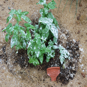 Close up of basil plant with Diatomaceous Earth