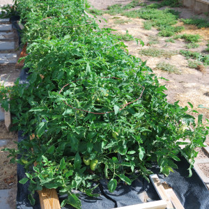 Overall of Roma Tomatoes July 15, 2014