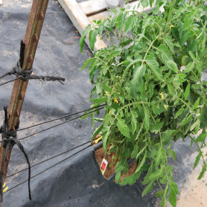 Midrange of Staking Tomatoes July 31, 2014