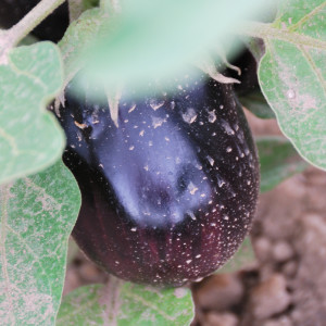 Close up of purple eggplant.