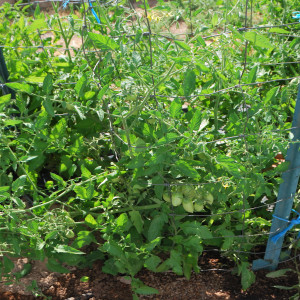 Overall Grape Tomatoes July 15, 2014