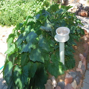 Overall of Zucchini and Crookneck Squash July 30, 2014
