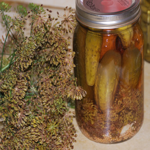 Bottled dill pickles with harvested dill