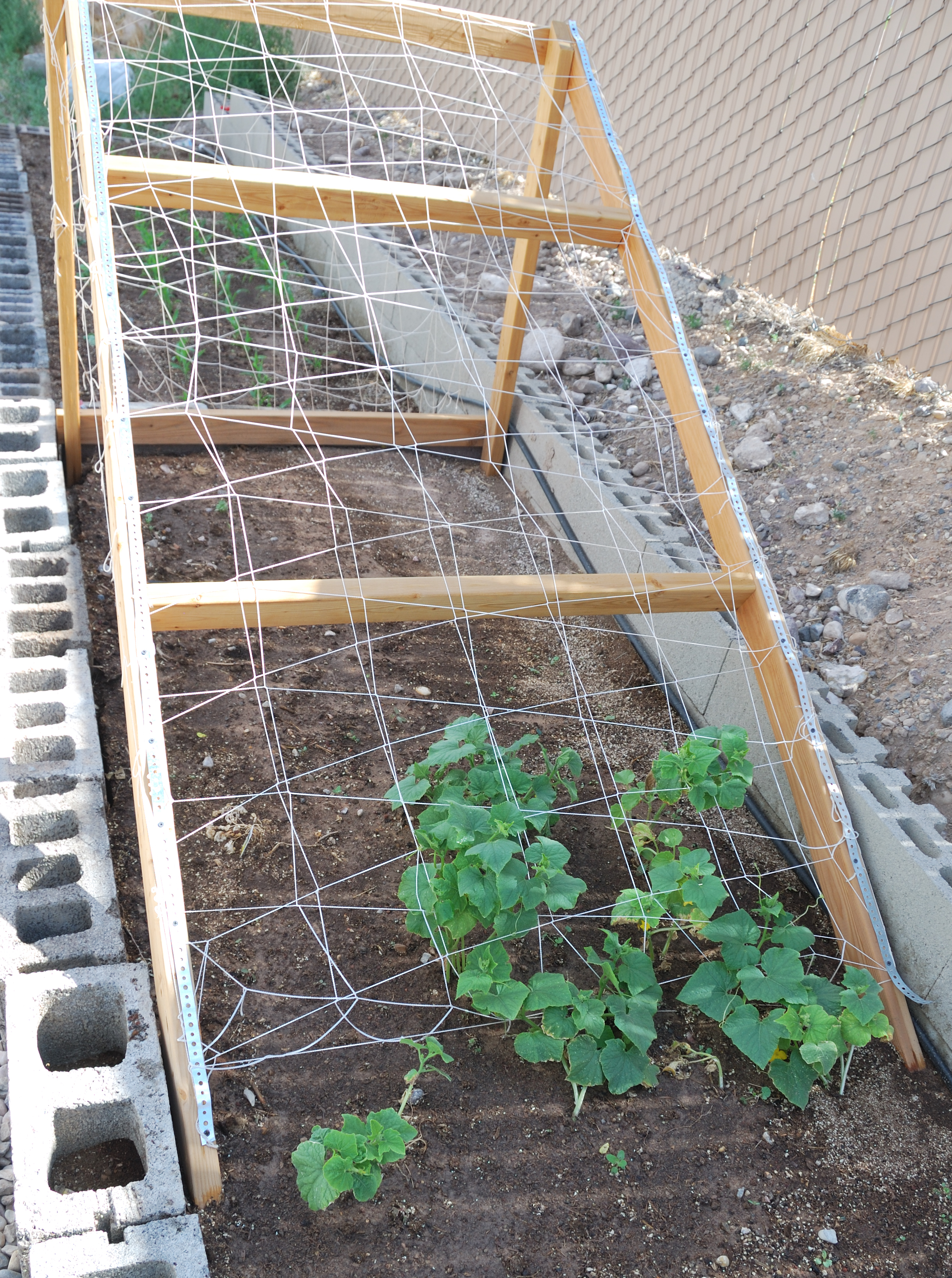 Overall Of Wood And Twine Cucumber Support. Close Up Of Cucumber Plants On Support  Structure
