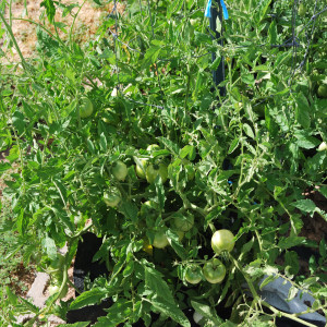 Overall Regular Tomatoes July 15, 2014