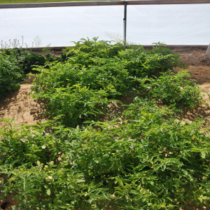 Overall Tomatoes June 24, 2014
