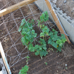 Close up of Cucumber plants on support structure