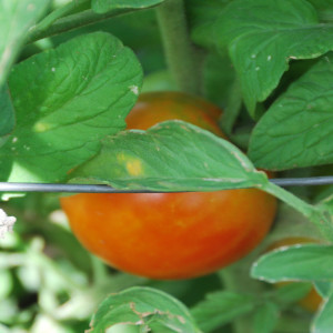 Close up of Regular Tomatoes July 15, 2015