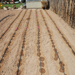 Dennis uses a drip irrigation system.   He makes sure he keeps the ground around the plants moist but not soggy.